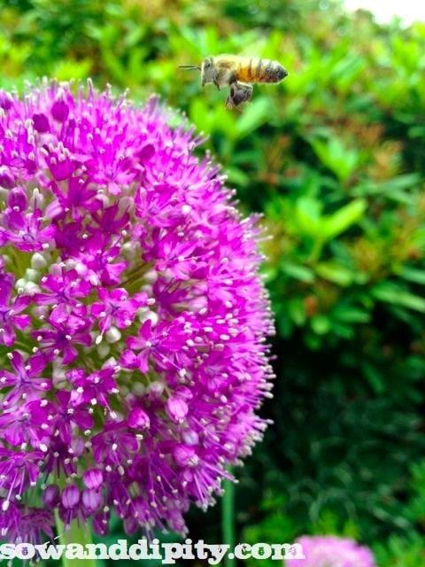 allium blossom
