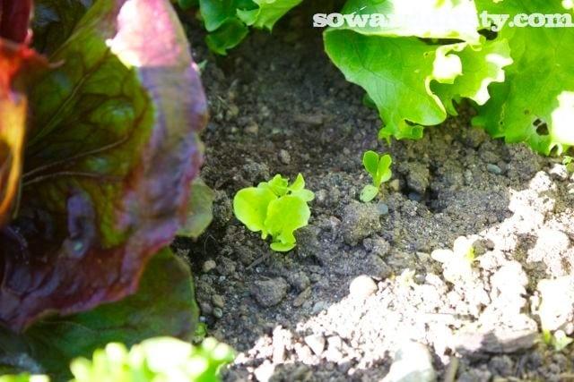 Little lettuce seedlings coming up