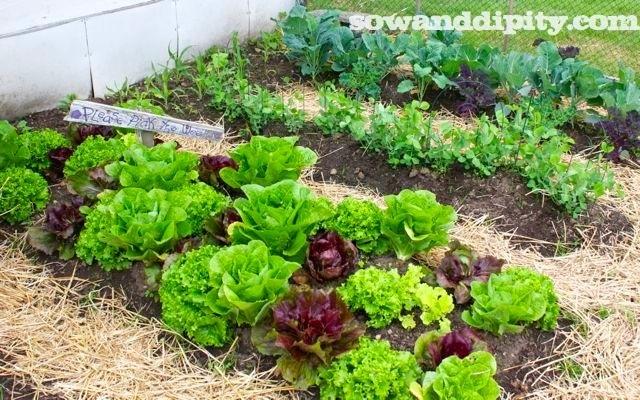 A gorgeous garden of edibles..
