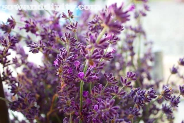 lavender flower stems