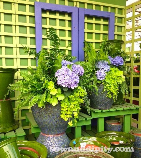 hydrangeas in a planter