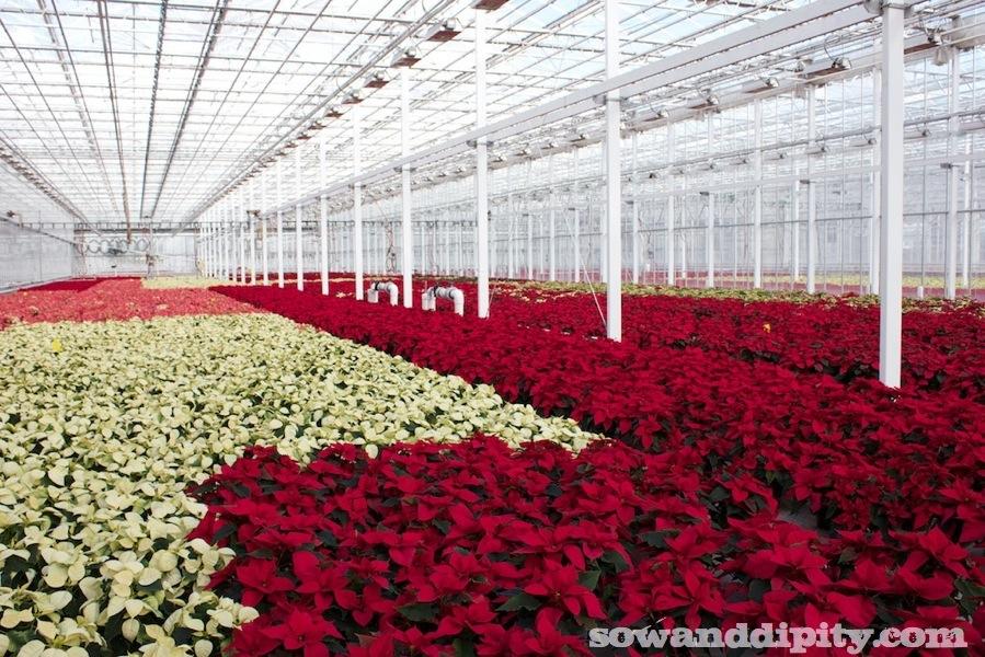 poinsettia's in a greenhouse