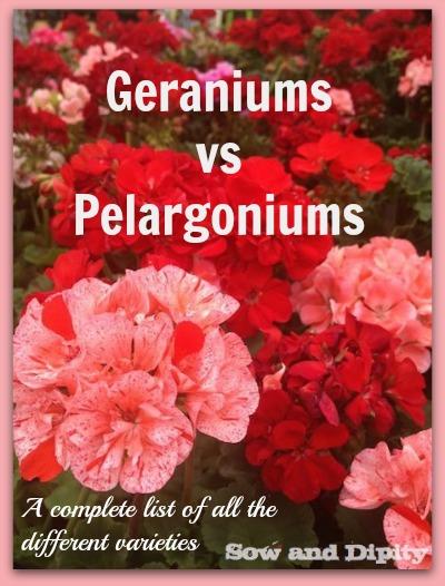 Geraniums vs Pelargoniums