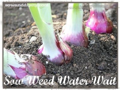 sow weed water wait