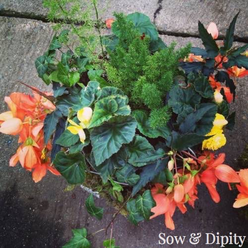 Shade plants for planters and baskets 4