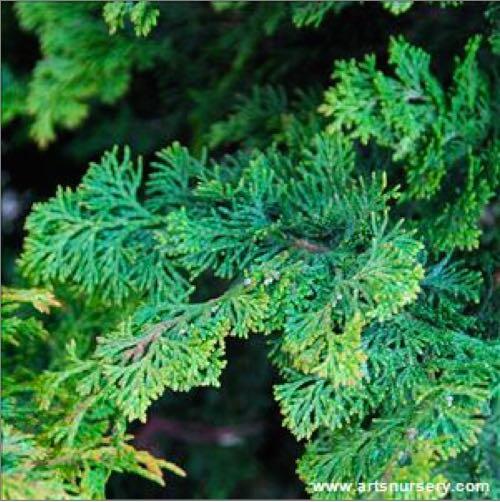 Evergreen Patio Trees For Sun. Hinoki Cypress