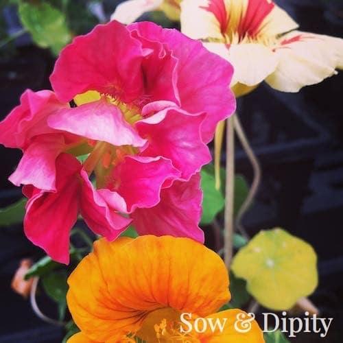 edible flowers (3)