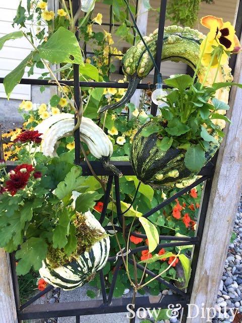 Crookneck gourd planter