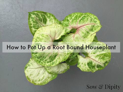 How to pot up a root bound houseplant