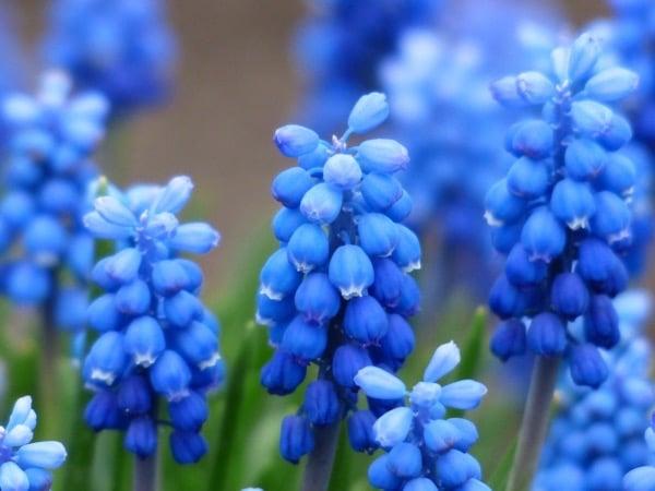 grape hyacinths for balancing the throat chakra
